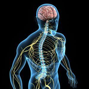 11467084-nervous-system-xl